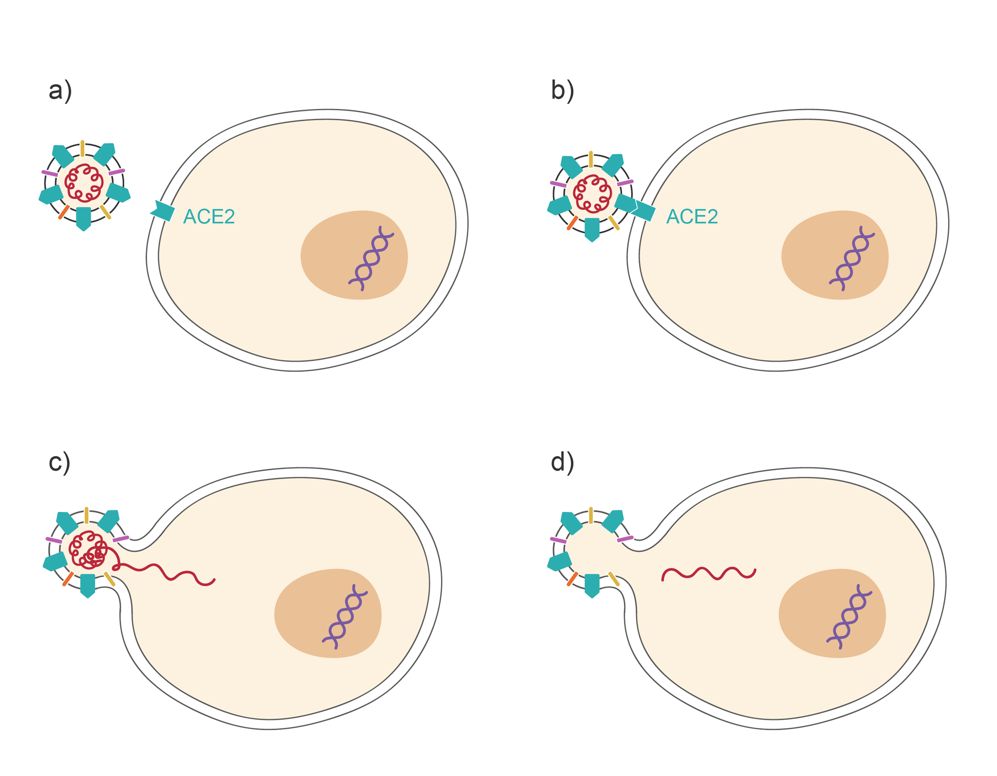 Series of images. Cell with virus. Cells with virus bound to receptor. Virus fusing with cell membrane. Viral contents in cell. Illustration.