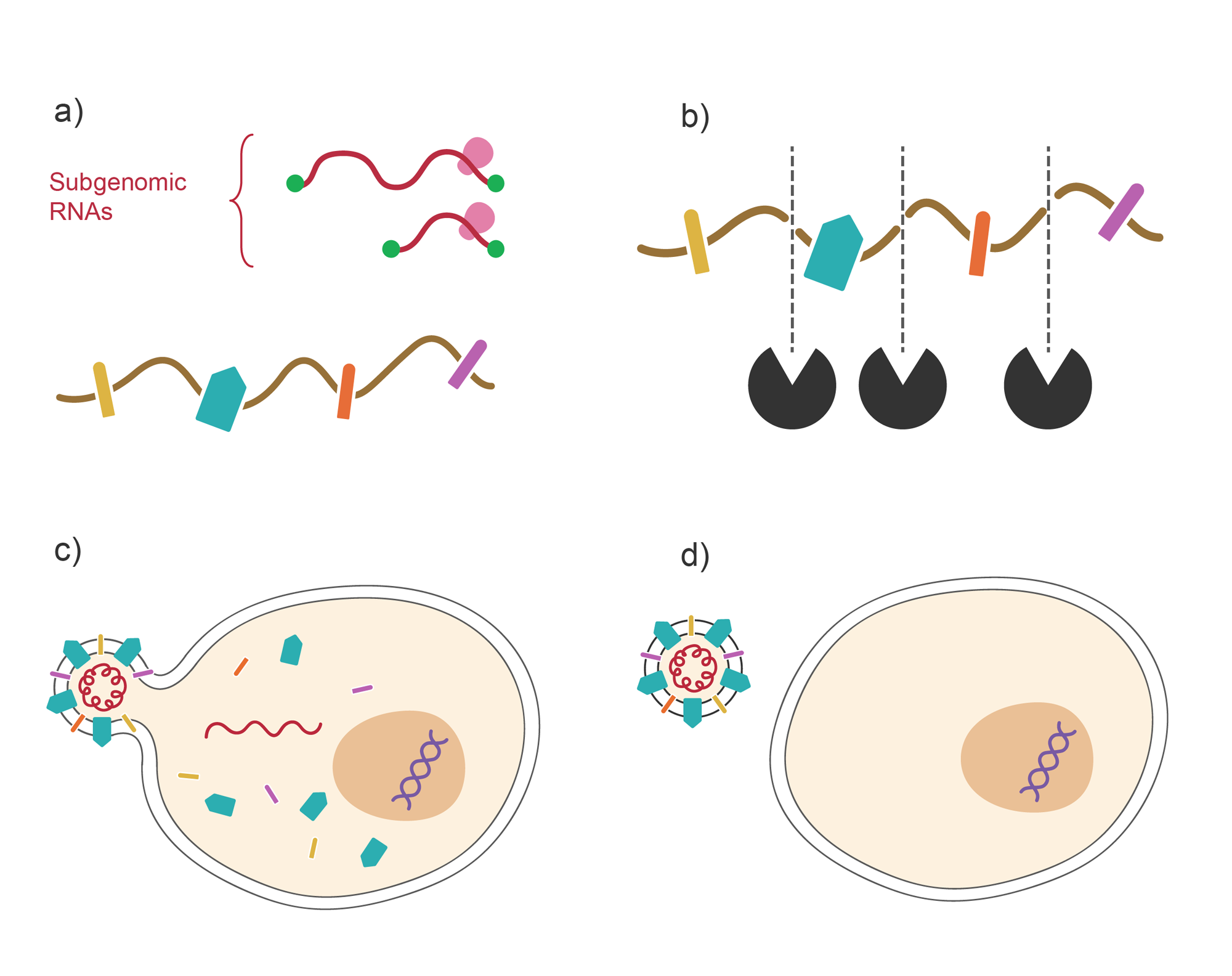 Viral protein translation and packaging into new virus. Series of four images: protein translation, protease cleavage, packaging, budding. Illustration.