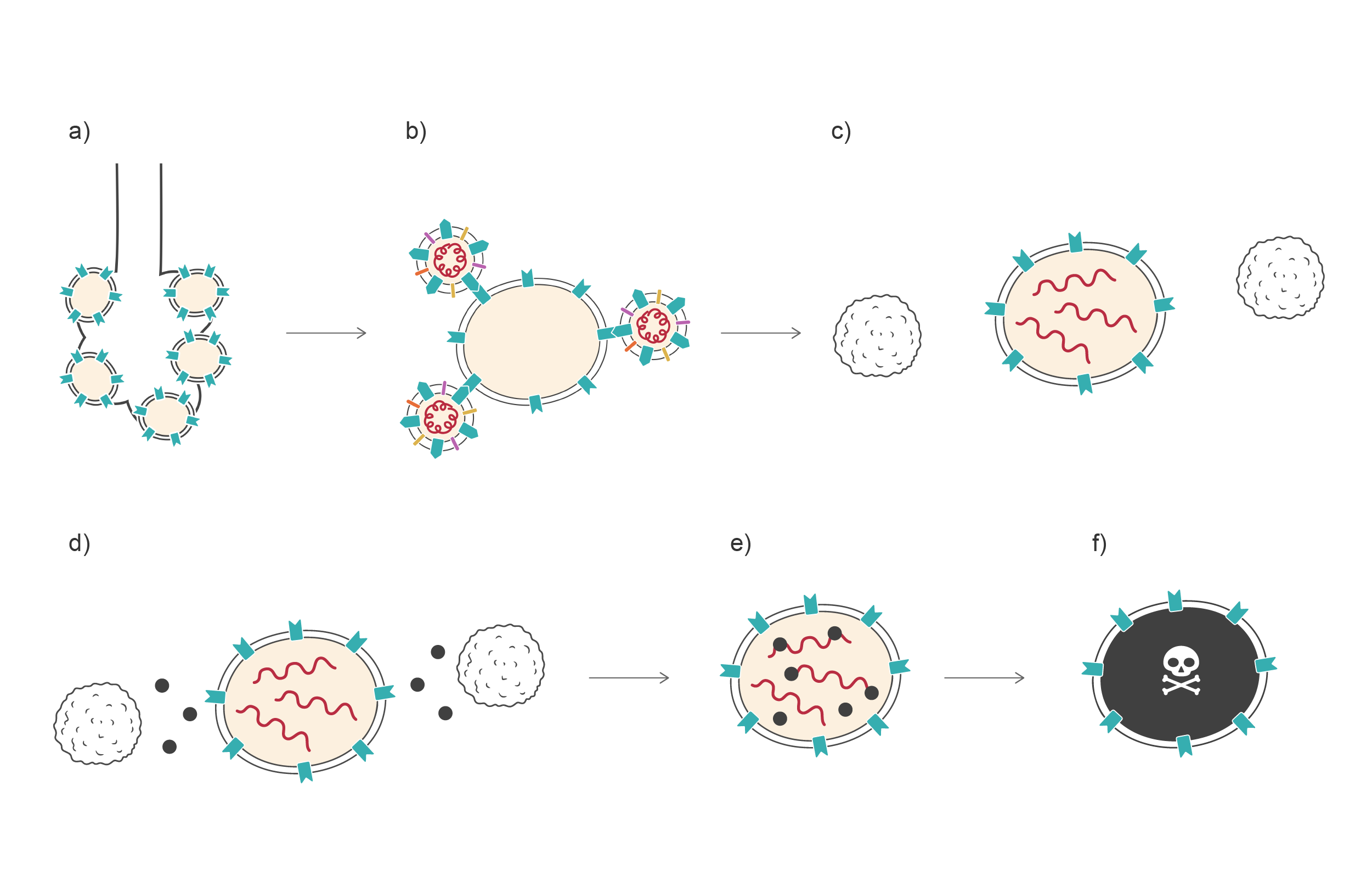 Sequence of six steps in immune response to Sars-CoV-2. Illustration.
