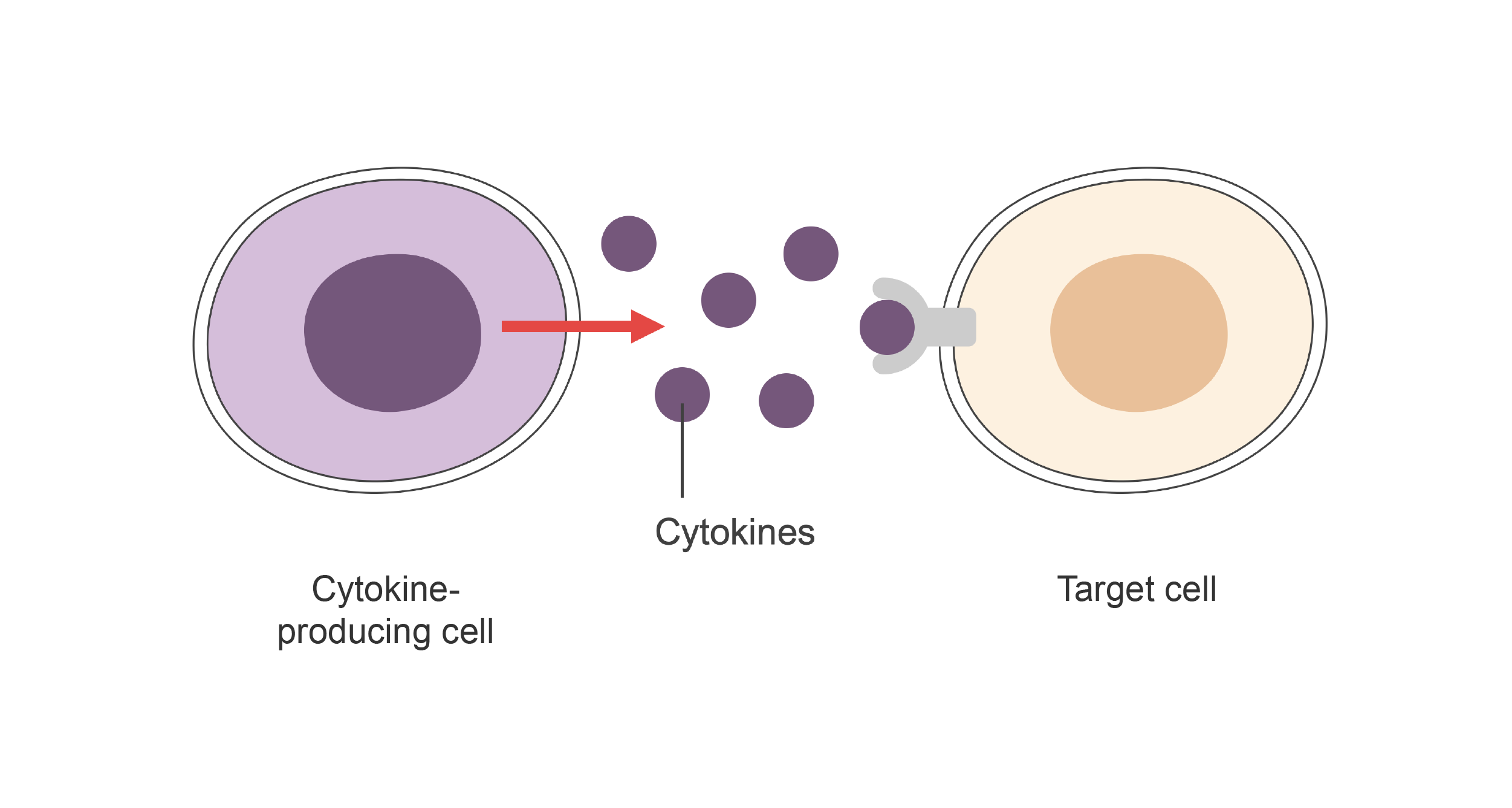 Cytokine-producing cell releasing cytokines to target cell. Illustration.
