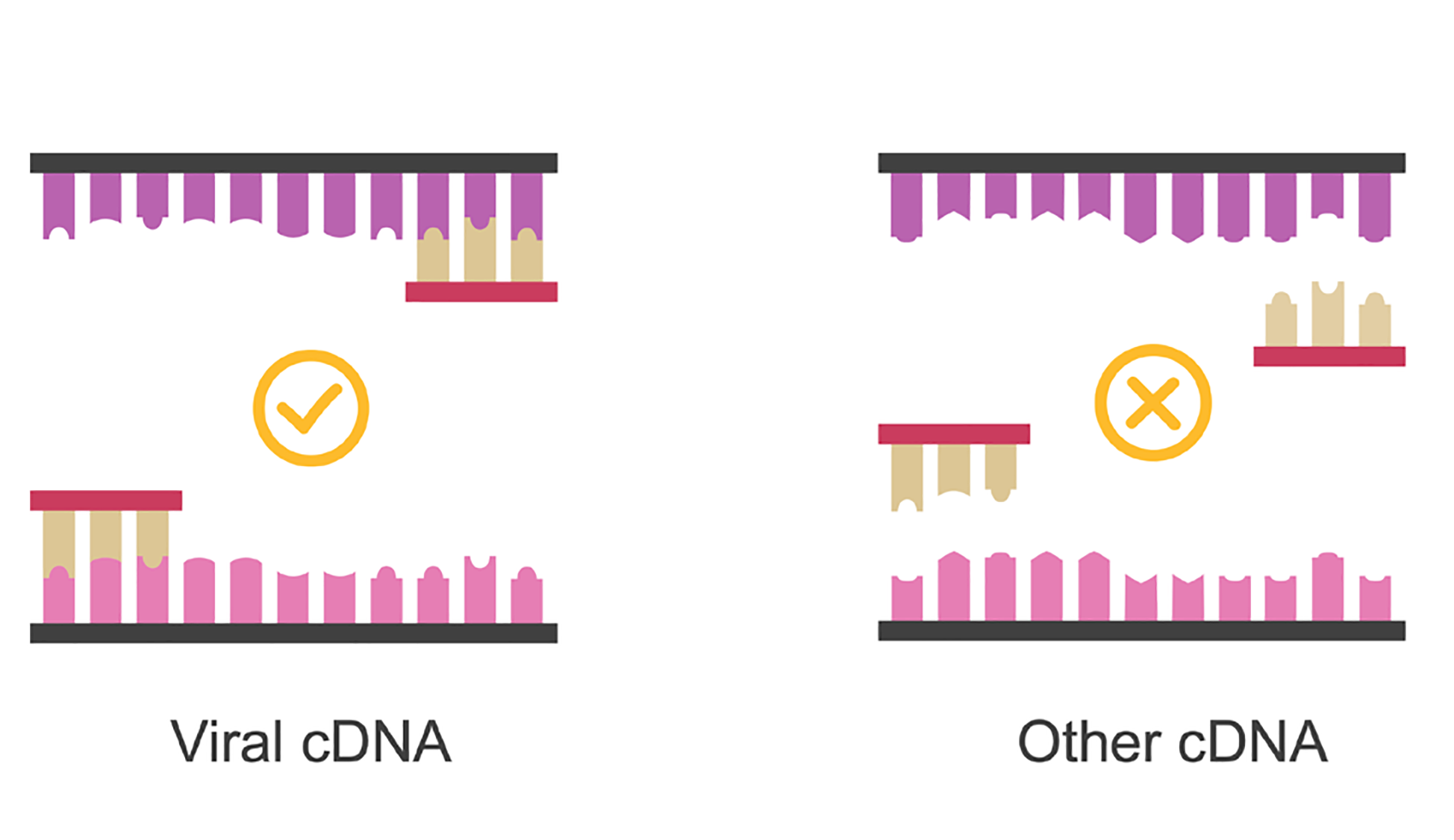 Viral cDNA with primers bound. Other cDNA with no binding of primers. Illustration.