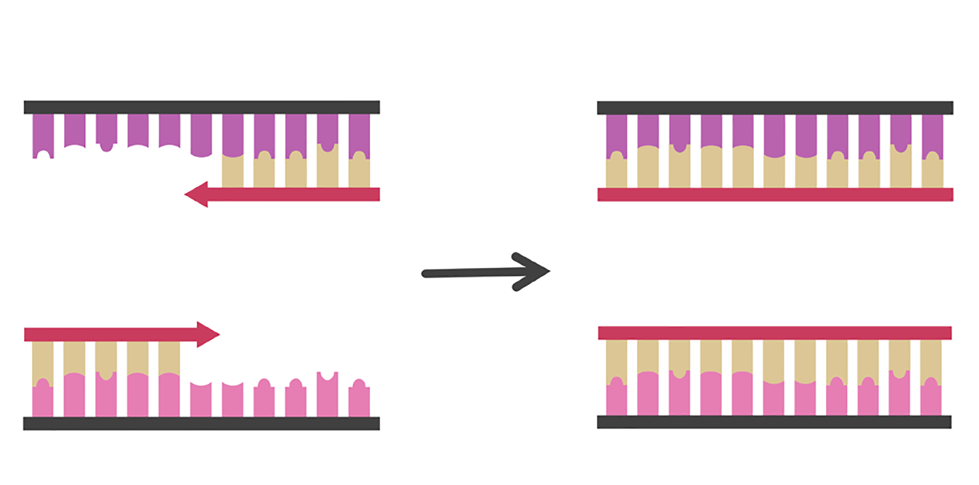 Two single stranded complementary DNA strands. Two double stranded complementary DNA strands. Illustration.