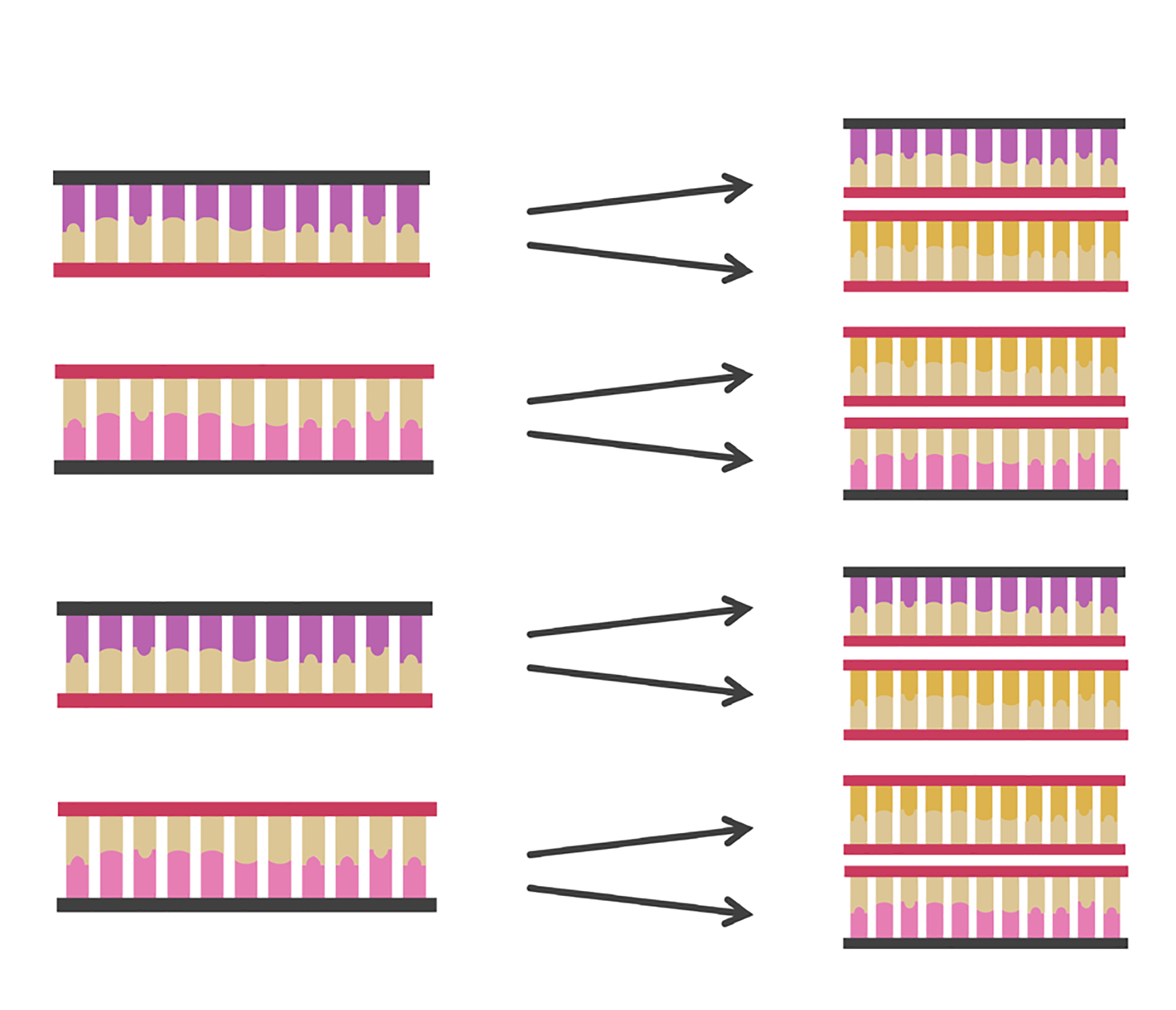 Figure 6. After each time the three steps of polymerase chain reaction (PCR)—denaturation, annealing and elongation¬—are performed, the amount of DNA in a sample doubles.
