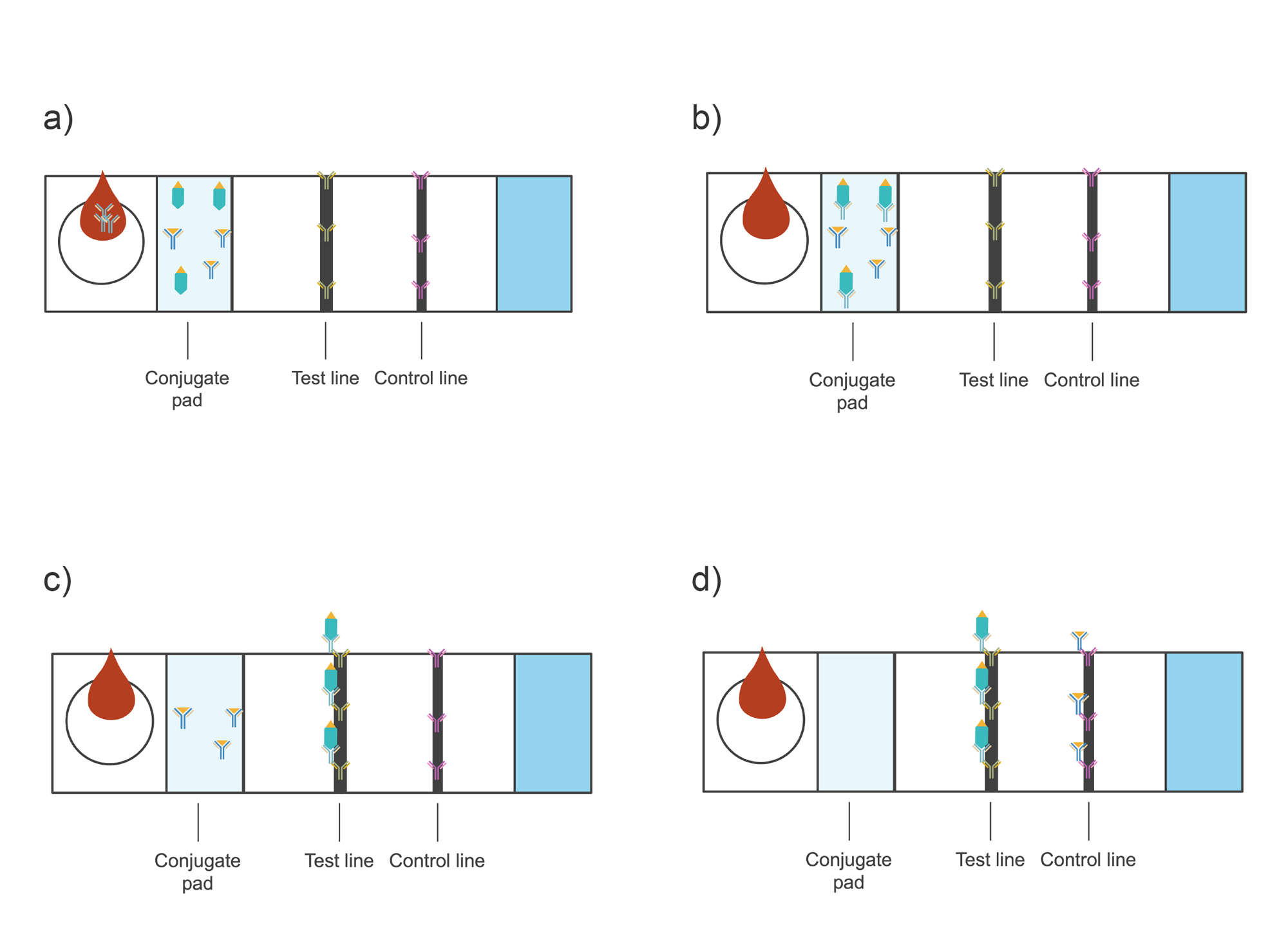 Paper strip of LFIA divided into sections—conjugate pad, test line, control line, absorption pad. Illustration.