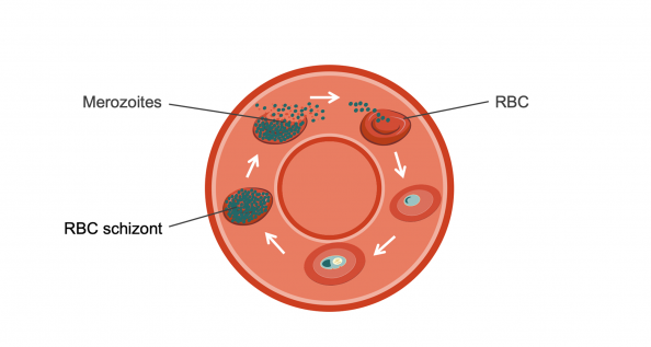 Merozoite in bloodstream, entering red blood cell, red blood cell schizont. Illustration.