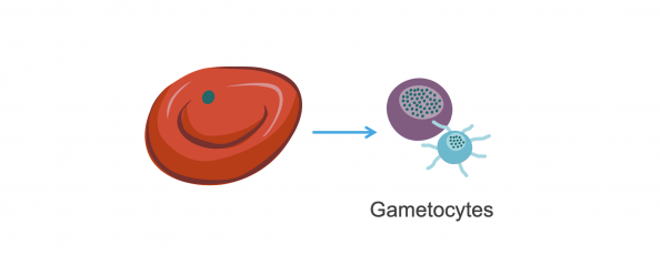 Red blood cell with merozoite. Male and female gametocytes. Illustration.